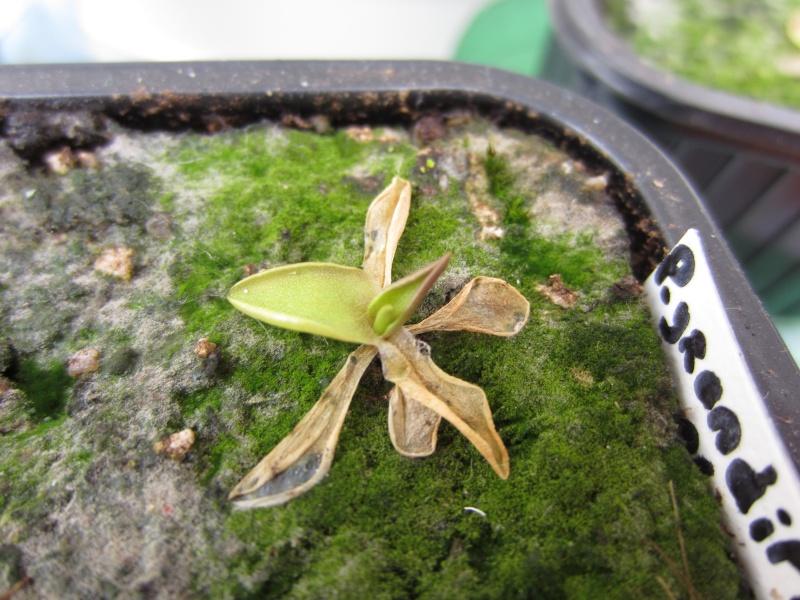 Plantules P. grandiflora périssant les unes apres les autres ... - Page 2 Img_6127