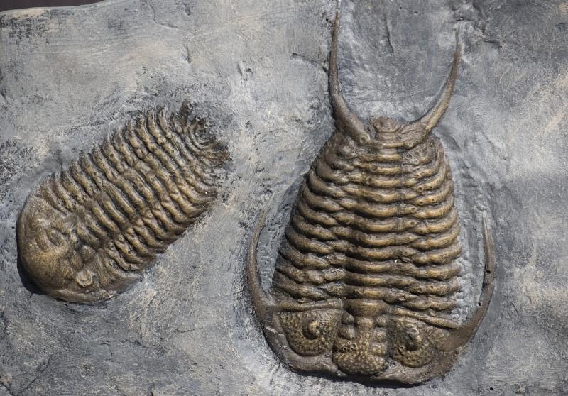 Mes trilobites  Ceraur10