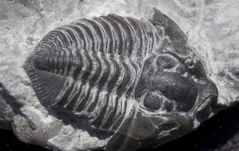 Mes trilobites  Flexic10