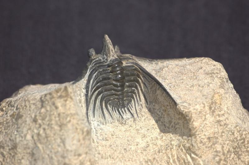 Mes trilobites  Leonas10