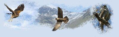 Fauconnerie, volerie, le monde des rapaces