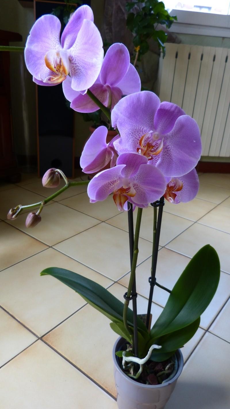 nouveau phalaenopsis P1040610