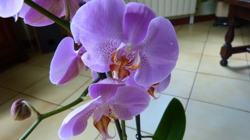 nouveau phalaenopsis P1040611