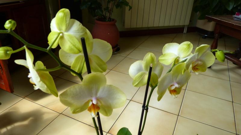 encore 1 nouveau phalaenopsis P1040614