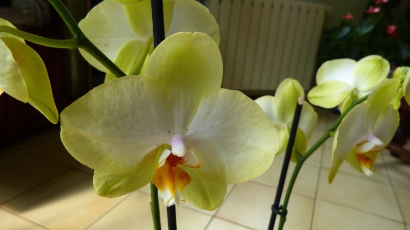 encore 1 nouveau phalaenopsis P1040615