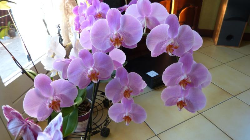 encore 1 nouveau phalaenopsis P1040712