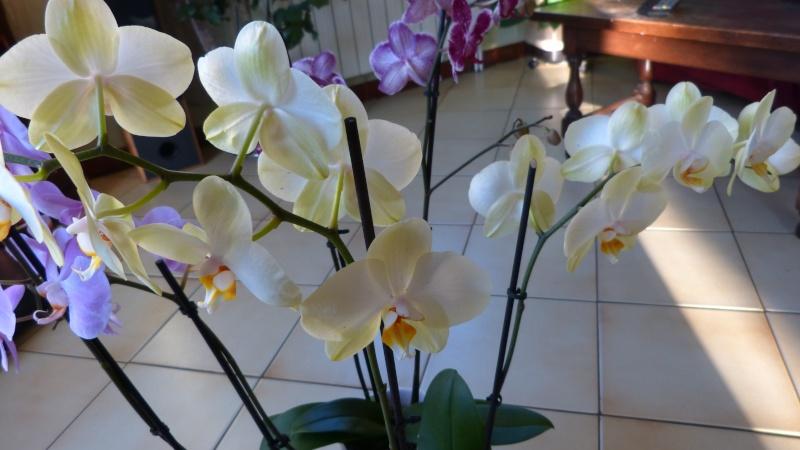 encore 1 nouveau phalaenopsis P1040713