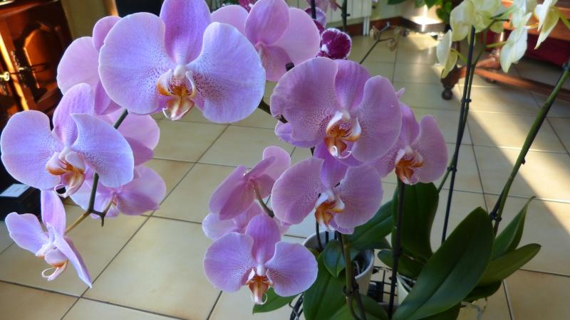 encore 1 nouveau phalaenopsis P1040714