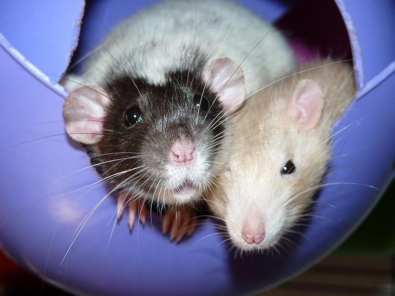 ❤ Les ratons de la St Valentin ❤ - Page 3 P1580311