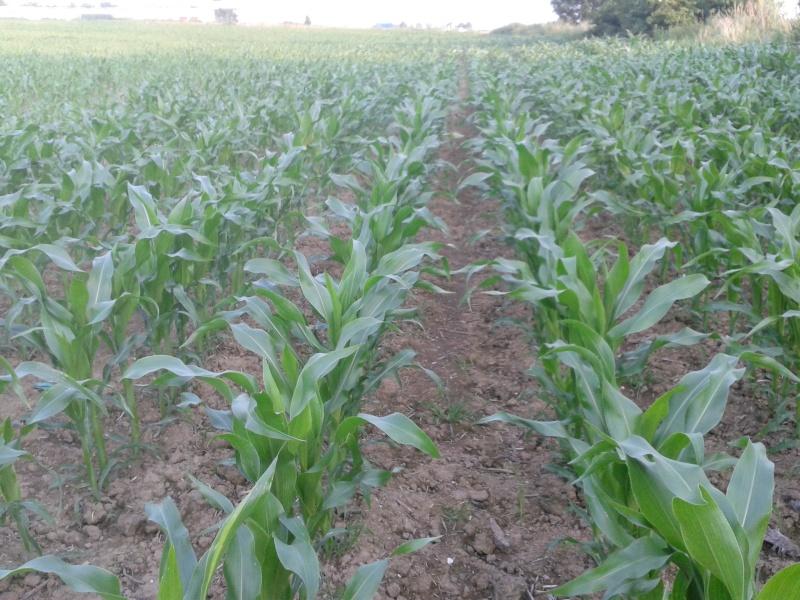 semis de maïs 2013  - Page 17 20130710