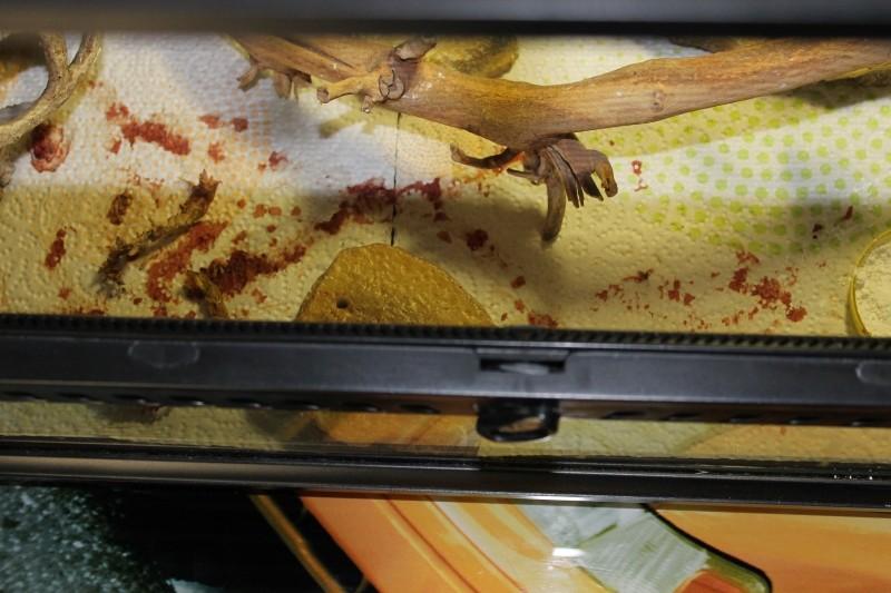 régurgitation : gecko leopard Img_7612