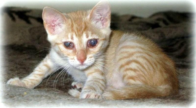 VISHNYA - Chaton femelle - Née vers mars 2012 (REA) Vishny11