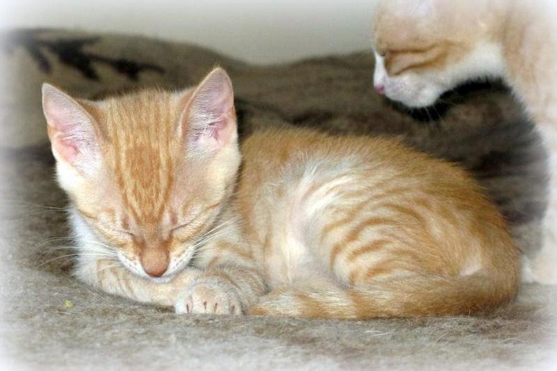VISHNYA - Chaton femelle - Née vers mars 2012 (REA) Vishny13