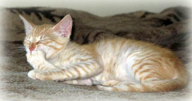 VISHNYA - Chaton femelle - Née vers mars 2012 (REA) Vishny15