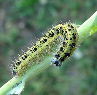 Les chenilles deviendront des papillons ... 22-09-10