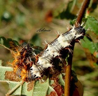 Les chenilles deviendront des papillons ... 28-09-10