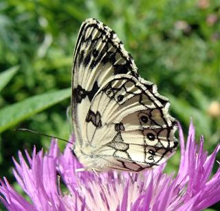 Papillons un peu plus insolites 2_01110