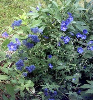Géraniums vivaces Dabut_11