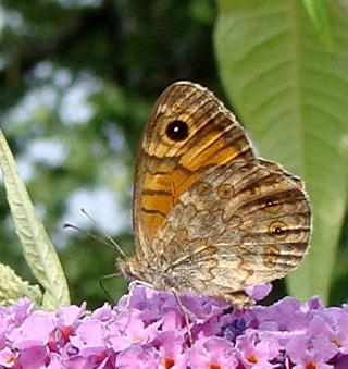 Papillons Dsc00111