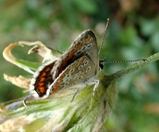 Papillons Dsc00211