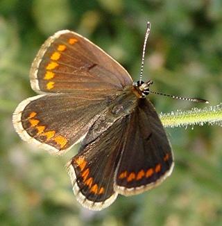Papillons Dsc00312