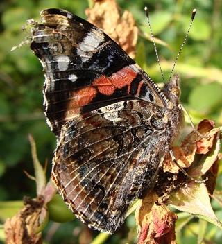 Papillons un peu plus insolites Dsc01213
