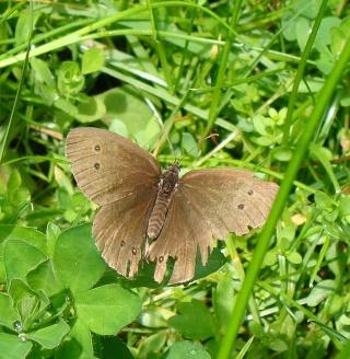 Papillons été 2012 Dsc02813