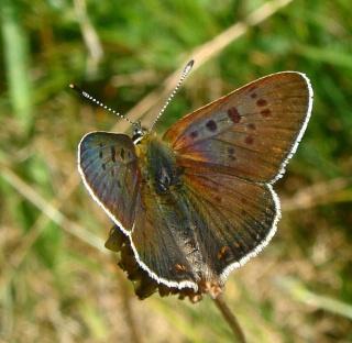 Papillons été 2012 Dsc02913