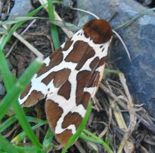 Papillons été 2012 Dsc02914