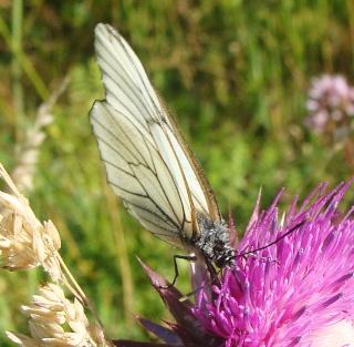 Papillons été 2012 Dsc03011