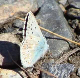 Papillons été 2012 Dsc03012