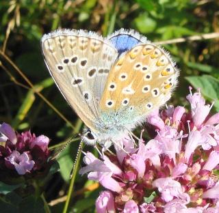 Papillons été 2012 Dsc03111