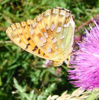 Papillons été 2012 Dsc03113