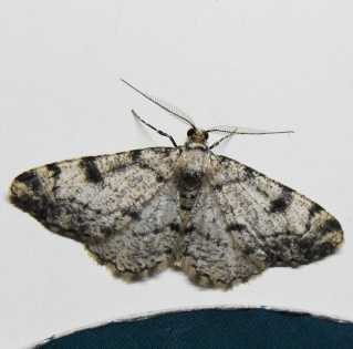 Papillons été 2012 Dsc03118