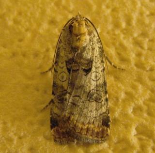 Papillons été 2012 Dsc03128