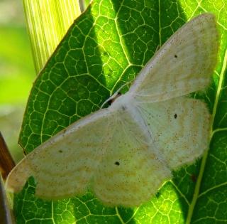 Papillons été 2012 Dsc03311