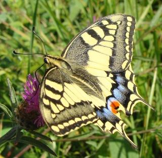 Papillons été 2012 Dsc03312