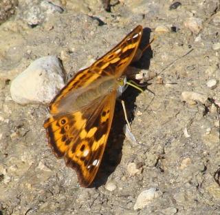 Papillons été 2012 Dsc03421