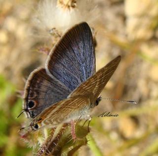 Papillons été 2012 Dsc03513