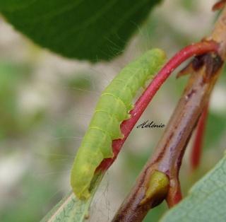 Les chenilles deviendront des papillons ... Dsc03617