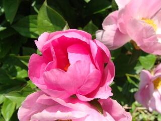 Rosiers buissons Dsc06210