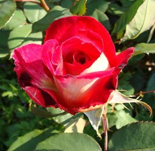 Rosiers buissons Dsc06410