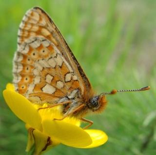 Papillons Dsc06411