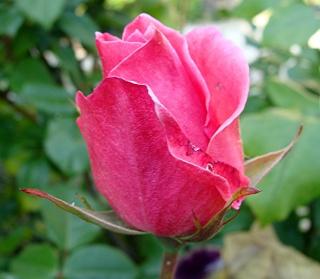 Rosiers buissons Dsc06512