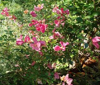 Rosiers buissons Dsc06811