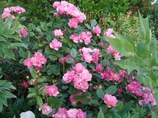 Rosiers buissons Dsc06910