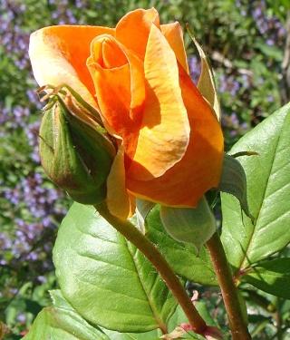 Rosiers buissons Dsc06912