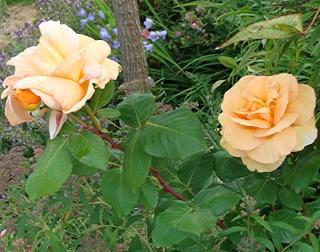 Rosiers buissons Dsc07112