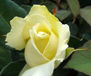 Rosiers buissons Dsc07113