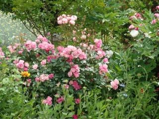Rosiers buissons Dsc07312